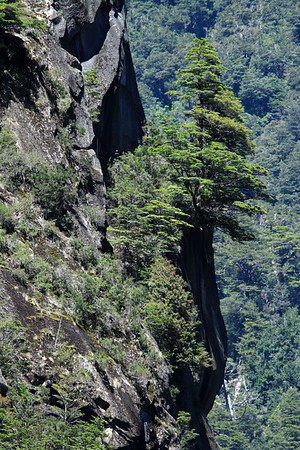 Southern beech tree, upon the steep rock cliff, along the Rio Simpson Valley.