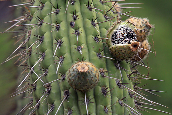 Fruit and seeds, of the Quisco cacti (Echinopsis chiloensis) - among the spiny ribs and areoles.