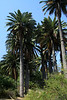Chilean Wine Palms - Matorral ecoregion - Valparasio region - central Chile.