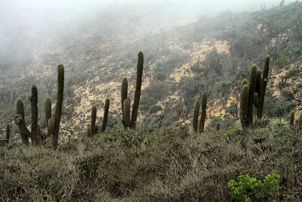 Columnar cactus of the Quisco (Echinopsis chiloensis) - growing to about 25 ft. (7.5 m) tall - these specimens among the Camanchaca fog, along the Cordillera Talinay.