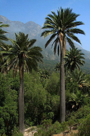 Chilean Wine Palms - to the clouds along the upper northern ridge and slope of Cerro Campana.