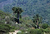 Chilean Wine Palms - along the lower eastern slopes of Cerro Campana.
