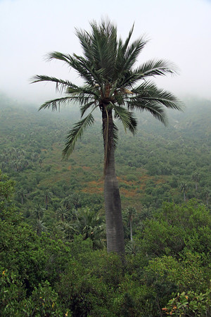 Chilean Wine Palm - indigenous to central Chile - genetically has the thickest trunk of any known palm species on Earth - up to about 5 ft. (1.5 m) diameter.