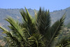 Upper crown and fronds of the Chilean Wine Palm - to the distal ridge of Cerro Campana, along the horizon.