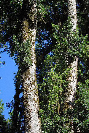Herbaceous non-vascular epiphytic tree moss - thriving upon the trunks of a Coihue de Chiloé (Nothofagus natida), a southern beech tree, of the Valdavian Temperate Rainforest ecoregion.