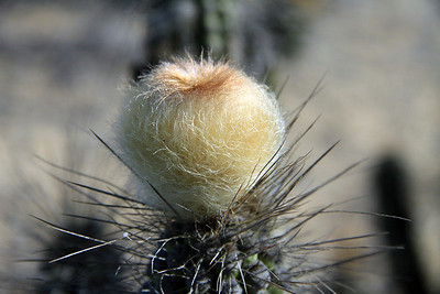 Sunlight upon the Sheepstail Cactus (Eulychnia breviflora) - revealing its wooly flower bud, nearing its bloom during the mid-summer season, in the coastal Atacama Desert.