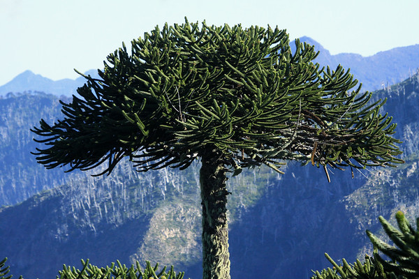 Canopy of the Pehuén, can grow up to around 50 ft. (15 m) in diameter.