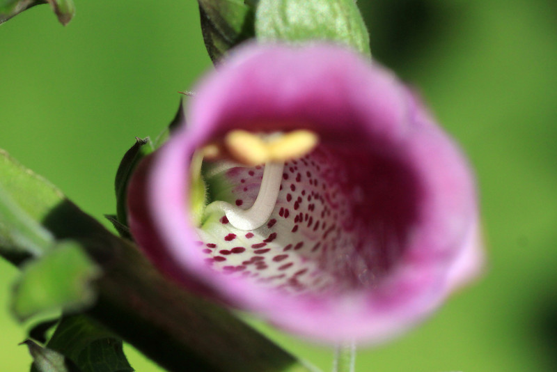 """Sunlight upon the reproductive components of the Foxglove - revealing is carpel (the light green """"ovary"""", the white """"style"""" growing there from, to its terminal """"stigma"""" tip that is out-of-focus) and stamens (with only the elongated and white colored """"filaments"""" seen), both within the bell-shaped corolla (flower petals)."""