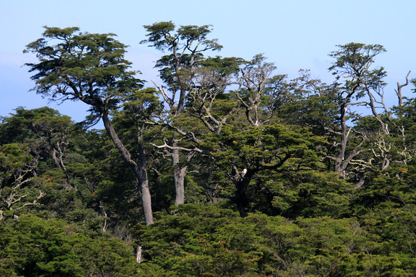 Coihue, common beach (Nothofagus dombeyi) - the tallest of the southern beech tree species, growing to about 145 ft. (44 m).