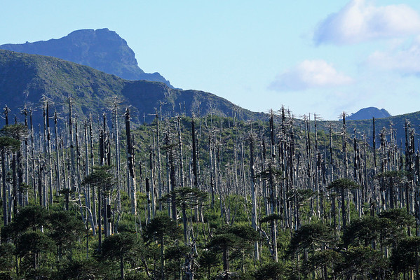 Post fire scene of the Pehuén or Monkey Puzzle trees, along the Cordillera Malleco, Tolhuaca National Park - and northward to the distal and adjoining, Malleco National Reserve.