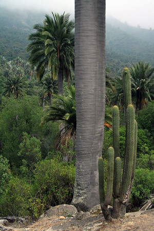 The distinctive smooth and thick trunk of a Chilean Wine Palm - growing adjacent the Quisco columnar cactus.