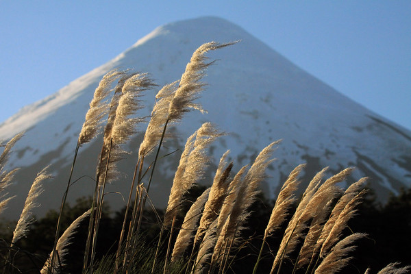 Sunlit inflorescence of the panicles, growing about 16 in. (40 cm) long atop the bloom stalk, of the Pampas Grass - locally called the Cortadera, or Cola de Zoro (fox tail) - (Cortaderia araucana) - to the mostly shaded glacial ice cap and conical peak, of Volcan Osorno.
