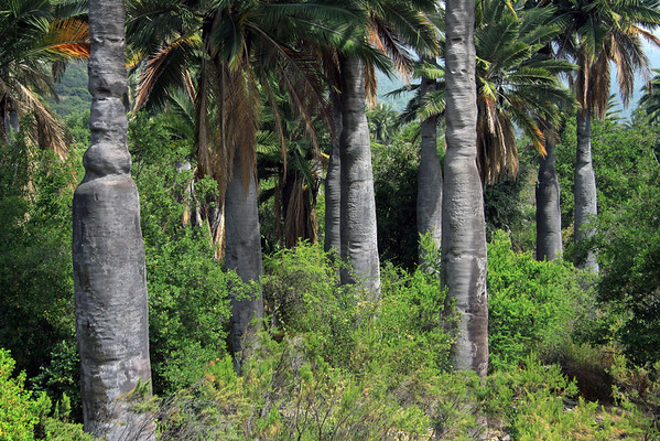 The trunks of the Chilean Wine Palm (Jubae chilensis) - growing to about 6 ft. (1.8 m) in diameter.
