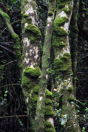 Epiphytic moss growing upon the Olivillo tree trunks - Valdivian forest vegetation - Bosque Fray Jorge National Park.