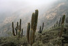 Quisco cactus (Echinopsis chiloensis) - growing along the slope of the Cordillera Talinay.