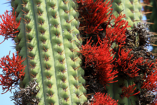 """(Tristerix aphyllus) is sometimes called the """"cactus mistletoe"""" - here thriving upon the columnar, ribbed stalks, and spines of the Quisco cactus."""