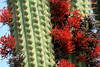 "(Tristerix aphyllus) is sometimes called the ""cactus mistletoe"" - here thriving upon the columnar, ribbed stalks, and spines of the Quisco cactus."