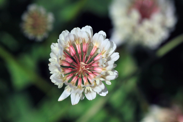 Macro view of the White Clover or Trebol Blanca (Trifolium repens) - early summer season - Torres del Paine National Park - Magallanes region.