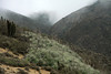 Beyond the cluster of Chagual bromeliads (Puya chilensis), displaying their dead bloom stalks or spikes - and the columnar cactus of Quisco (Echinopsis chiloensis) - to the rocky and scrub vegetated lower slopes of the Cordillera Talinay - and the coastal Camanchaca fog beyond.