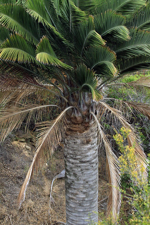 Up the trunk of a Chilean Wine Palm - displaying its leaf scars, and dying and thriving fronds.
