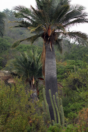Quisco cacti (Echinopsis chiloensis) - growning along the massive trunk of a Chilean Wine Palm.
