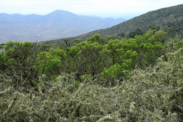 Over the epiphytic fruticose lichen - and new leaf growth upon the shrubs - to the distal slopes along the Cordillera Talinay.