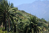 Beyond the Chilean Wine Palms - to the slopes and ridge of Cerro Campana.