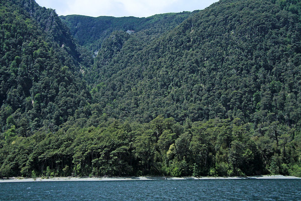 Forest of southern beech trees, along the shoreline and slopes, of Lago Pirehueico.