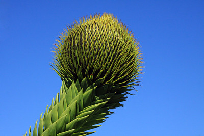 Singular globular cones at the limb's end (the female) - which measures about 7 in. (18 cm) long and 6 in. (15 cm) wide - Pehuén or Monkey Puzzle tree.