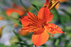 Amanacay (Alstroemeria aurea) - lily family, indigenous to the Andes Mountains.