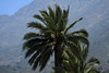 Chilean Wine Palms - slope of Cerro Campana.