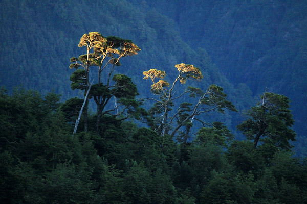 Day's last rays upon the upper limbs of the Coihue, or Common Beech (Nothofagus dombeyi) - an evergreen tree, of the Valdivian vegetation.