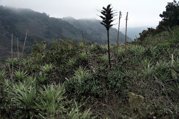 Beyond the bloom stalks of the Chagual bromeliad (Puya chilensis) - to the Camanchaca coastal fog (stratocumulus clouds), along the steep slopes of the Talinay Range.
