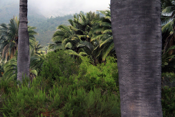 Chilean Wine Palms - among the Matorral ecoregion - along the lower eastern slope of Cerro Campana.