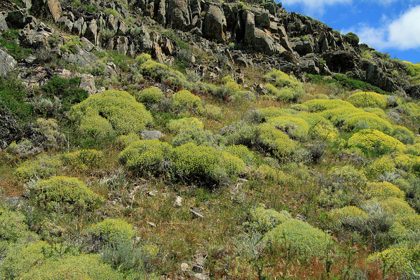 Mata Barrosa (Mulinum spinosum) - a cushion plant, that grows up to 4 ft. (1.2 m) tall - these specimens along the lichen covered sedimentary rock slope.