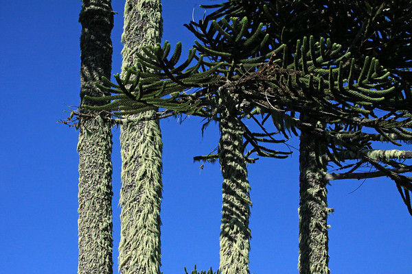 Stripped shadows from the elongated limbs with sensil and imbricated leafs, upon the epiphytic fruticose lichen, growing upon the vertical trunks of the Pehuén or Monkey Puzzle tree - against the naked sky.