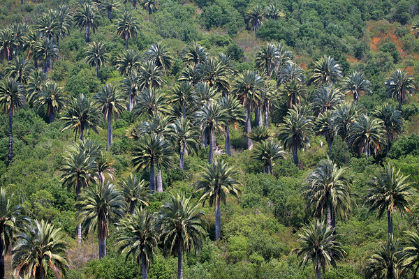Sunlight upon the Chilean Wine Palms - Campana National Park.