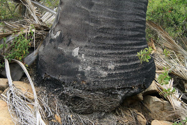 Base of a Chilean Wine Palm, among the igneous granitoid, and fallen fronds.