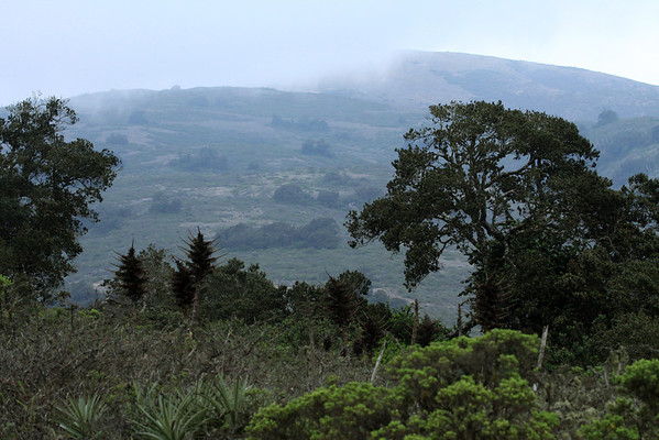 Boldo (Peumus boldus) - one of the Valdivian forest trees - here along the slope of the Cordillera Talinay, and the Camanchaca fog - Bosque Fray Jorge National Park.