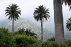 Chilean Wine Palms - growing along the slopes of Cerro Campana - Coastal Mountain Range - Valparasio region - central Chile.