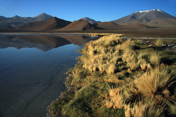 Along the endorheic lagoon, lined with cushion plant and tussock grass - with an early morning reflection upon the placid water of the lower peaks and slopes of Cerro Polapi (distal, l), next is Cerro Cebollar and Cerro Cuevas, beyond the lower foothills of Cerro Palpana (r) - among the foraging flamingos and pair of Andean Avocet - Alto Loa National Reserve - northern Antofagasta region.