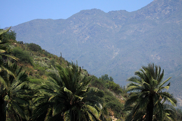 From the Chilean Wine Palm frond crowns - beyond the cactus and bromeliad bloom stalks - to the southern upper ridge of Cerro Campana (Bell Hill).