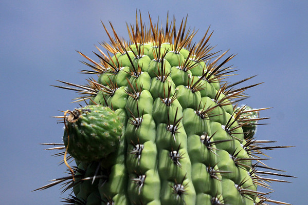 Fruit or tuna - of the Quisco cacti (Echinopsis chiloensis)