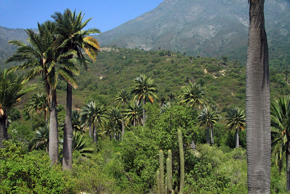 Beyond the Chilean Wine Palm - Quisco cacti - woodlands and scrub vegetation - to the distal southern slope of Cerro Campana (Bell Mountain).