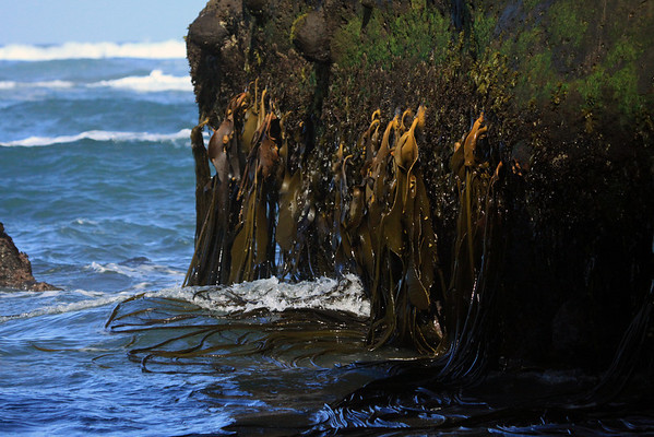 Waves from the Bahia Cucao - upon the long blades of the brown kelp (Durvillaea antarctica) - clinging to the base of a seastack, with other halophytic (saline tolerant) marine vegetation.