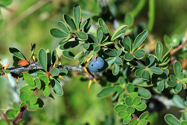 "Calafate (Berberis microphylla) - also known as ""Caulk"" -  an endemic evergreen shrub of the Patagonia region - this species grows to about 6 ft. (2.2 m) tall - and produces tasty edible berries."
