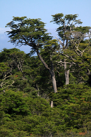 Coihue, common beach (Nothofagus dombeyi) - an evergreen southern beech tree, of the Valdivian Temperate Forest ecoregion.