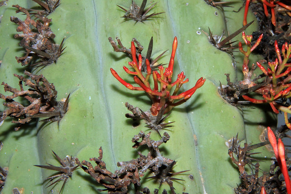 Obligate parasite (Tristerix aphyllus) - among the areoles and spines, of the Quisco cactus (Echinopsis chiloensis).
