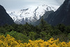 Beyond the florescence of the Common Broom shrub - and vegetation of the Valdavian Temperate Forest ecoregion - to the snow-covered glacial ice slope along northeastern, Volcan Villarrica (an active stratovolcano), with its peak in the clouds.