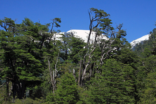 Beyond the early summer season growth of the deciduous and evergreen species of southern beech trees (Nothofagus, genus) - to the distal glacial ice capped peaks of the Patagonia Andes - Cordovado National Park - near the Valle Oeste (east).